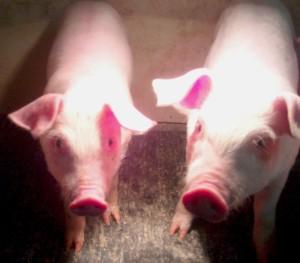 Hog Farming is Just Plain Hard