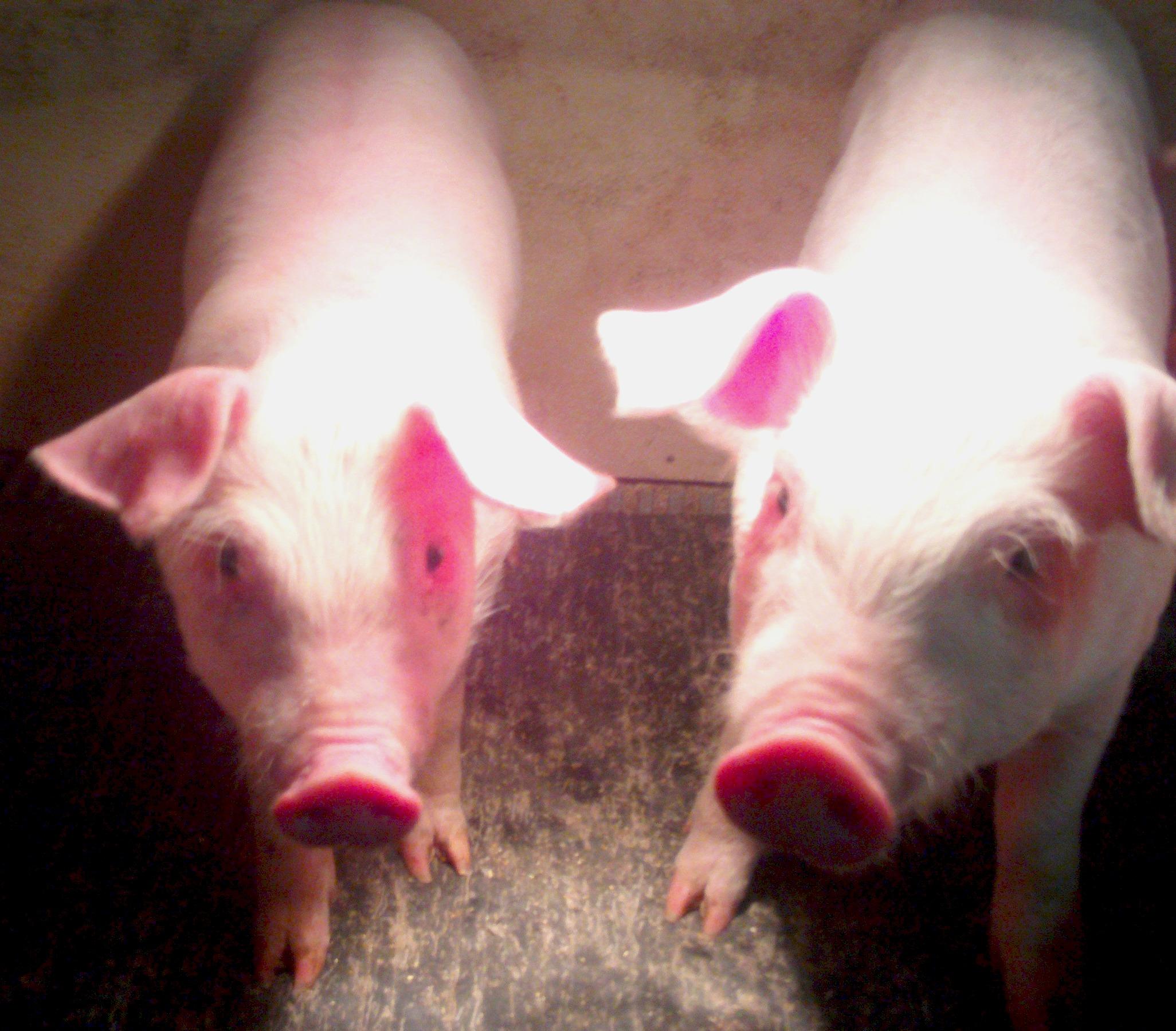 Pig Farming is Just Plain Hard