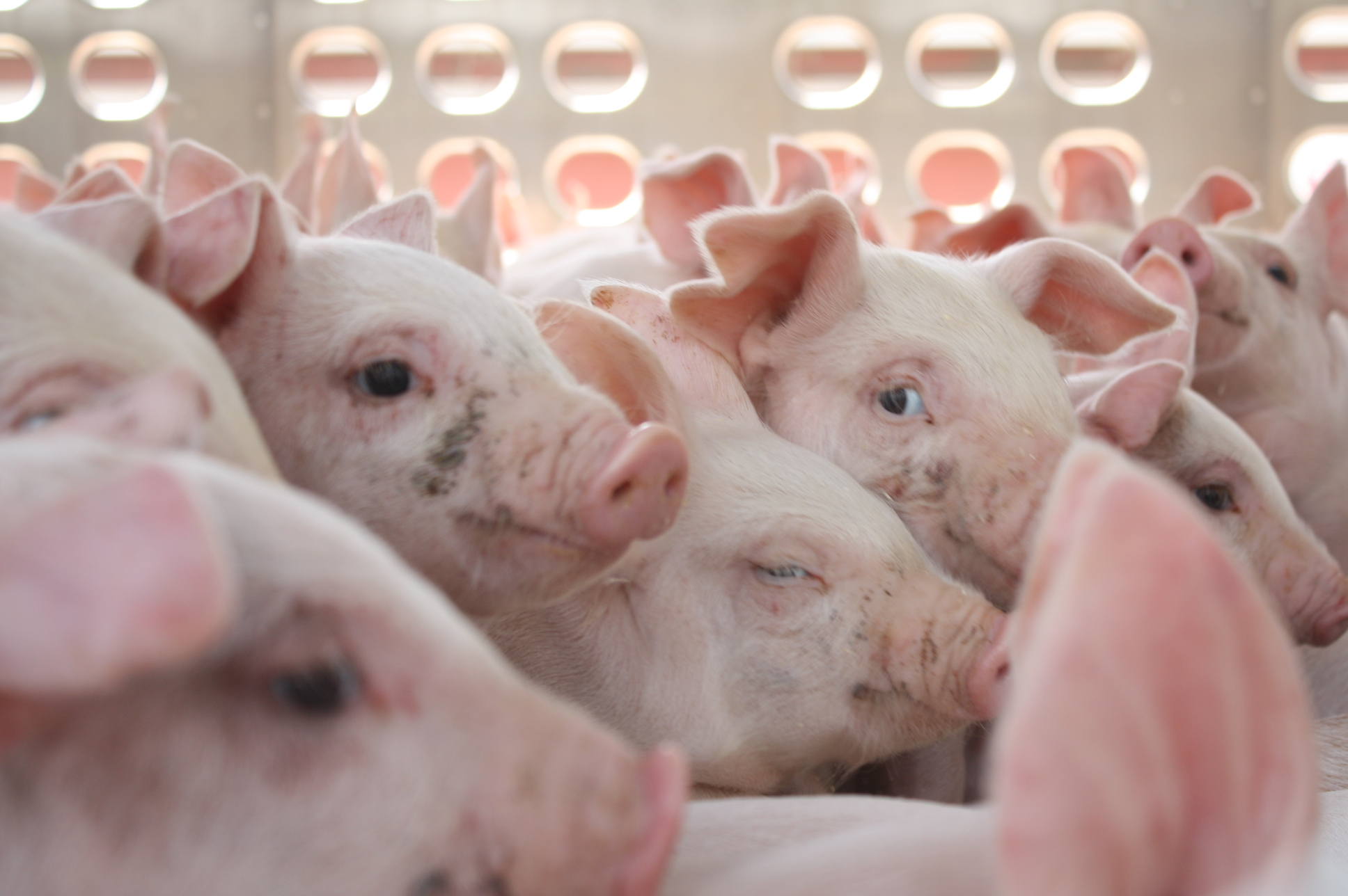 """Yes, There is a """"Science"""" to Moving Pigs"""