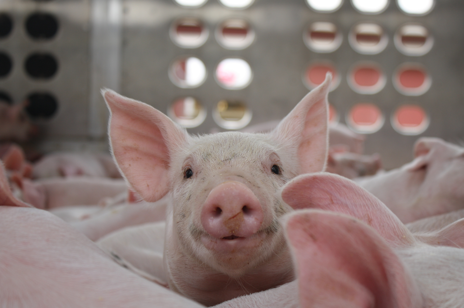 Why California's Proposition 12 Matters To Our Nation's Pig Farmers