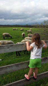 Overlooking the sheep