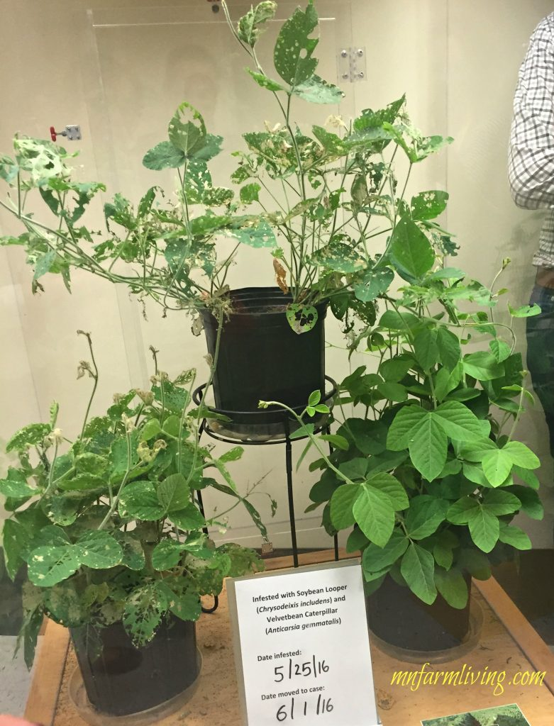soybean plants