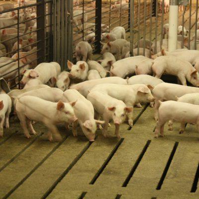 Sick Pigs and Sick Trade Tariffs